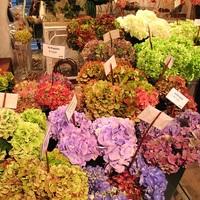 一年中「あじさい」を楽しめる♪ 京都の紫陽花専門店*アジュール*