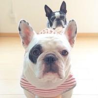 ファニーフェイスに癒される♡「フレンチブルドッグ」のかわいい画像集めてみました!