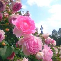 調布・神代植物園のバラが見ごろ。優雅な香りに癒されに行きませんか。