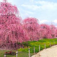春の訪れを告げる甘い香り。梅の名所で一足先に春を感じよう