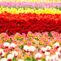 今年こそはあの絶景を見に行こう。<春夏秋冬>全国の花の名所をご紹介