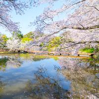 今年も桜の季節がやってきます♪神奈川県の素敵なお花見スポットに出かけよう!