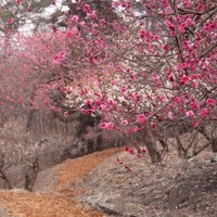 日本全国の梅の名所をご紹介。一面がピンク色に染まる*梅の絶景*