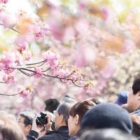 【開通!】桜さく段葛を歩こう ~春の鎌倉散策と鎌倉まつりのススメ~