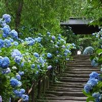 今年の見頃はいつ?境内が、美しいブルーに染まる「鎌倉・あじさい寺(紫陽花寺)」へ