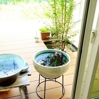 残暑に涼をとる。古くから愛されてきた「睡蓮鉢」を置いて、水生植物を楽しんでみよう♪