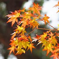 秋といえば紅葉!美しい紅葉が楽しめる「もみじ」をおうちに迎えてみない?