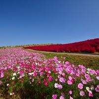 一面に広がる美しい景色にうっとり♡《関東近郊》お花畑に出かけよう♪