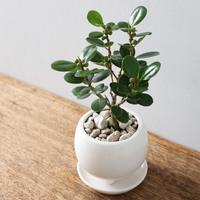 お部屋にシンボルツリーを♡今話題の観葉植物「フィカス(ゴムの木)」のある暮らし