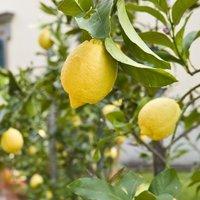 「果樹園」のある暮らし〜レモンツリーから始まる心ときめくライフスタイル〜