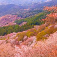 その数、3万本。日本一の桜と出会える[世界遺産・吉野山]へ