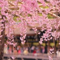 京都でお花見を楽しみませんか?~哲学の道・岡崎エリアのおすすめスポット6選~