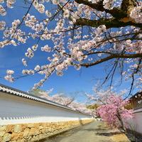 京都でお花見を楽しみませんか?~醍醐寺・山科エリアのおすすめスポット5選~