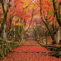 どこまでも続く赤い絨毯。滋賀の鶏足寺は最高のもみじ狩りスポット