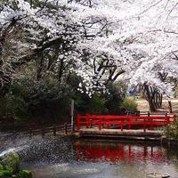 お花見なんて、気が早い?♪ ゆったり楽しめる、隠れた桜の名所7選《関東編》