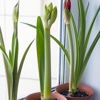 今植えると夏に咲くよ♪初心者さんでも挑戦しやすい春植え球根を育てよう