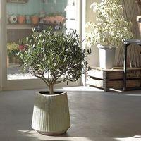 ナチュラル系インテリアにぴったりの観葉植物♪〈オリーブの木〉を迎えよう!