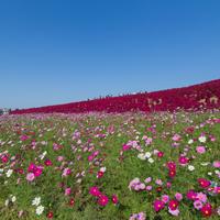 コスモスの美しい季節に。関東のコスモス畑の名所まとめました♪