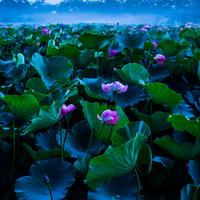 この夏は蓮(ハス)を見に行きませんか?関東の名所をご紹介します。