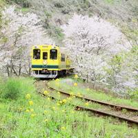 【いすみ鉄道】一面に広がる菜の花畑♪ 南房総を走る、ムーミン列車に乗って出掛けよう♪