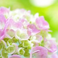この時期ならではの美しさ。梅雨に咲く花々を楽しんで ~京都のあじさい名所7選~