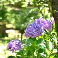 色鮮やかな花に初夏の訪れを感じて ~神奈川のあじさいの名所7選~