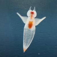 氷の妖精クリオネを育ててみよう!冷蔵庫で育てられるって知ってた?