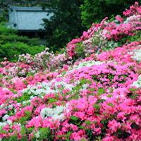 晩春を彩る風物詩。色とりどりに染まる美しいツツジの名所・関西7選
