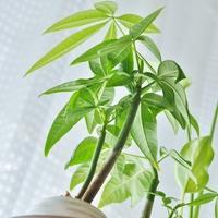育て方もきちんと知っておこう♪観葉植物の定番【パキラ】の素敵再発見!