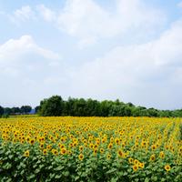 目の前いっぱいに広がる贅沢。夏が見ごろの〈関東周辺〉お花畑スポット
