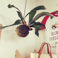 吊るして楽しむ!人気の観葉植物「コウモリラン」を育ててみませんか?