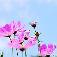 可憐に咲くコスモス♡秋を感じるコスモス(秋桜)の名所8選