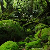 縄文杉ともののけ姫の森へ。生命の神秘が秘められた世界遺産【屋久島】