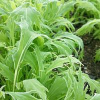 秋から始める家庭菜園♪ベランダ菜園・プランターで作れる「葉野菜」、寄せ植えなどをご紹介
