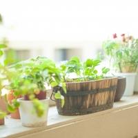 ベランダ&窓辺で《ちょこっとガーデニング》秋におすすめの「ハーブ&野菜」と育て方