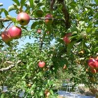 秋の果物《ぶどう&りんご》を楽しもう!関東近郊の「フルーツ狩り」おすすめスポット