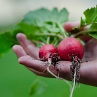 今から準備を始めて、冬こそ野菜を育てよう!甘みたっぷりジューシーな「冬野菜」育て方
