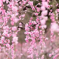 桃色に染まった風景に魅せられて……九州地方でのおすすめ梅林9選