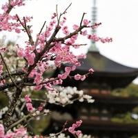 桃色に染まった風景に魅せられて……中国地方でのおすすめ梅林7選