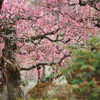 桃色に染まった風景に魅せられて……四国地方でのおすすめ梅林8選