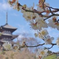 桃色に包まれた風景に魅せられよう!関東地方(神奈川)での梅の名所7選