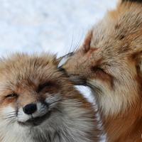 100匹以上のキツネに囲まれる!国内唯一のキツネ動物園【宮城蔵王キツネ村】