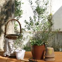 初夏には白い花も咲く「オリーブの木」 を、おうちで育ててみませんか