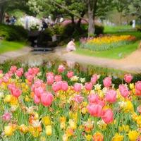 春爛漫とした陽気に包まれて…関東地方のチューリップ畑を訪れませんか?