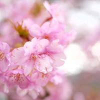 一足早い春を感じに。桜まつり、海鮮、温泉宿…「河津桜」咲く《早春の伊豆》を満喫しよう