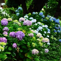 梅雨ならではの美しさに魅せられて ~  東京都の紫陽花(あじさい)名所・23区編  ~
