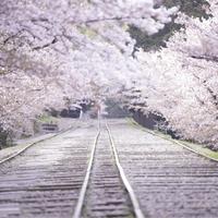 春爛漫(はるらんまん)の京都で* とびきり素敵な「あの桜」に会いに行きませんか