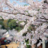 春だけのお楽しみ*【福岡】の桜の名所と周辺の素敵なカフェを巡ろう♪