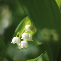 「すずらん」を大切な人に贈ろう。5月1日は可憐なお花「すずらんの日」