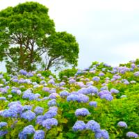 梅雨時期の【伊豆】に癒しを求めて。キーワードは「あじさいが咲く道」